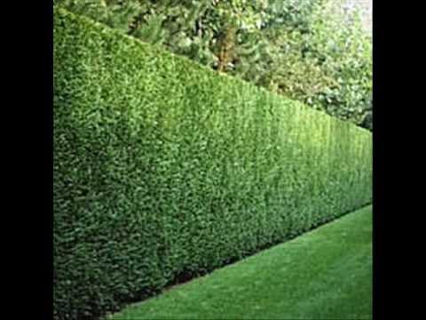 Mal Leyland Cypress Wmv