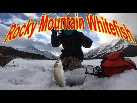 Spray Lakes Reservoir Ice Fishing -Part2 Rocky Mountain Whitefish-