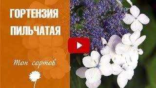 видео Гортензии: виды, сорта, особенности ухода, применение в ландшафтном дизайне