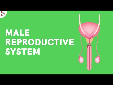 Male Reproductive System - CBSE 8