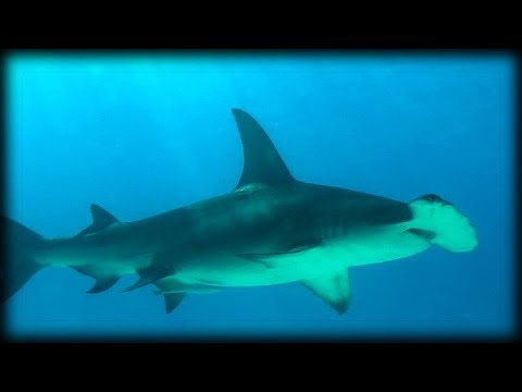 Great Hammerhead Sharks 03 Music