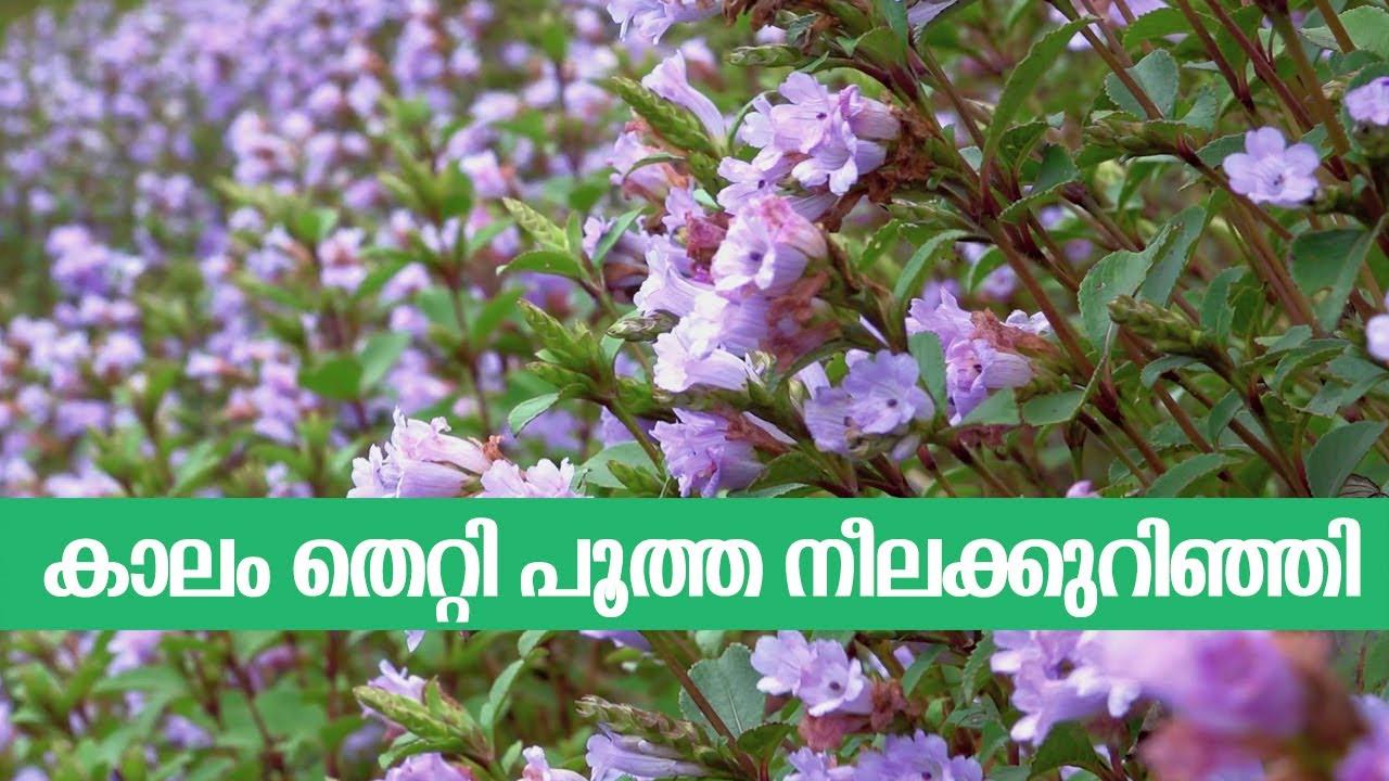 Neelakurinji 2020 | നീലക്കുറിഞ്ഞി | neelakurinji garden | munnar | kerala tourism | part 01