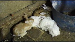 ثعبان ضخم في كفر عقب يقتحم غرفة ارانب ويبلع عدد منهم مع جمال العمواسي