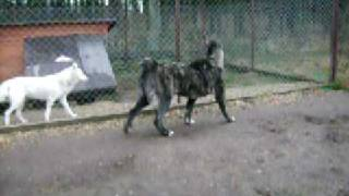 CENTRAL ASIAN SHEPHERD DOG Changa BAHARDEN (female 12 month)