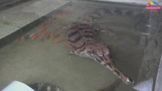 小馬來長吻鱷移雨林區 考驗民眾觀察力
