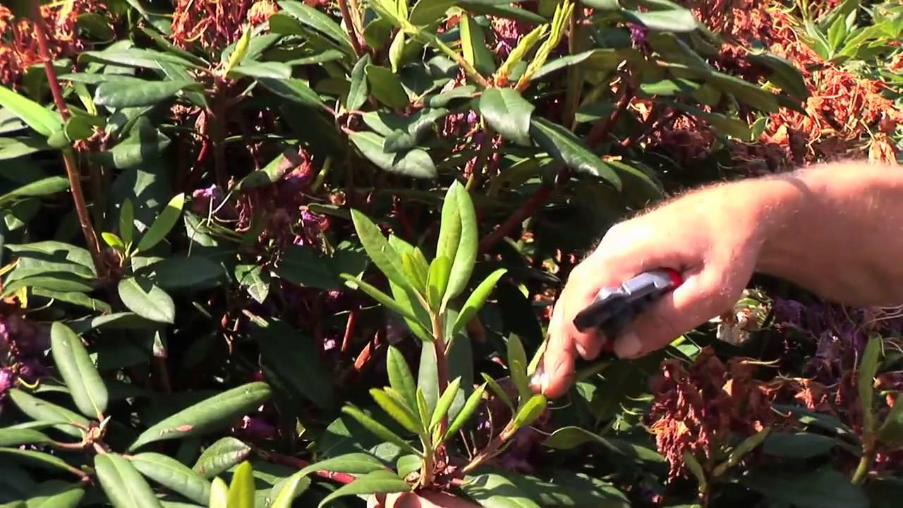 Relativ Video: Rhododrendon schneiden nach der Blüte – Anleitung & Tipps DS99