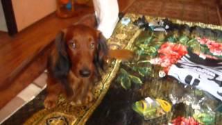 Чудо шланг для полива и собака такса длинношерстная