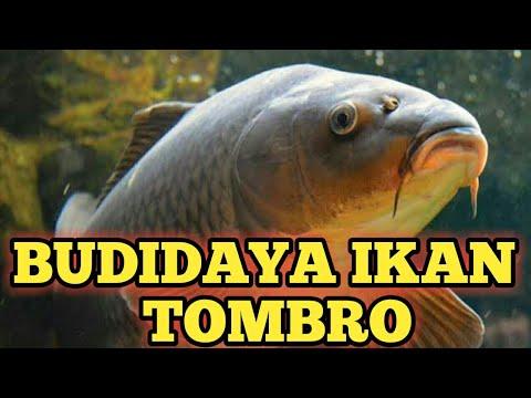 Budidaya Ikan Tombro Youtube