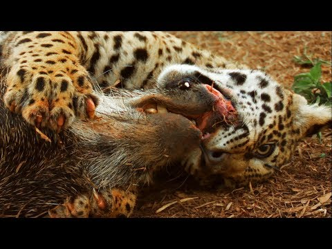 Jaguar Cubs Practice Hunting | Jaguars Born Free | BBC Earth