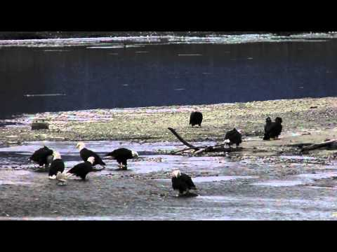 Eagles during the Alaska Bald Eagle Festival on the preserve