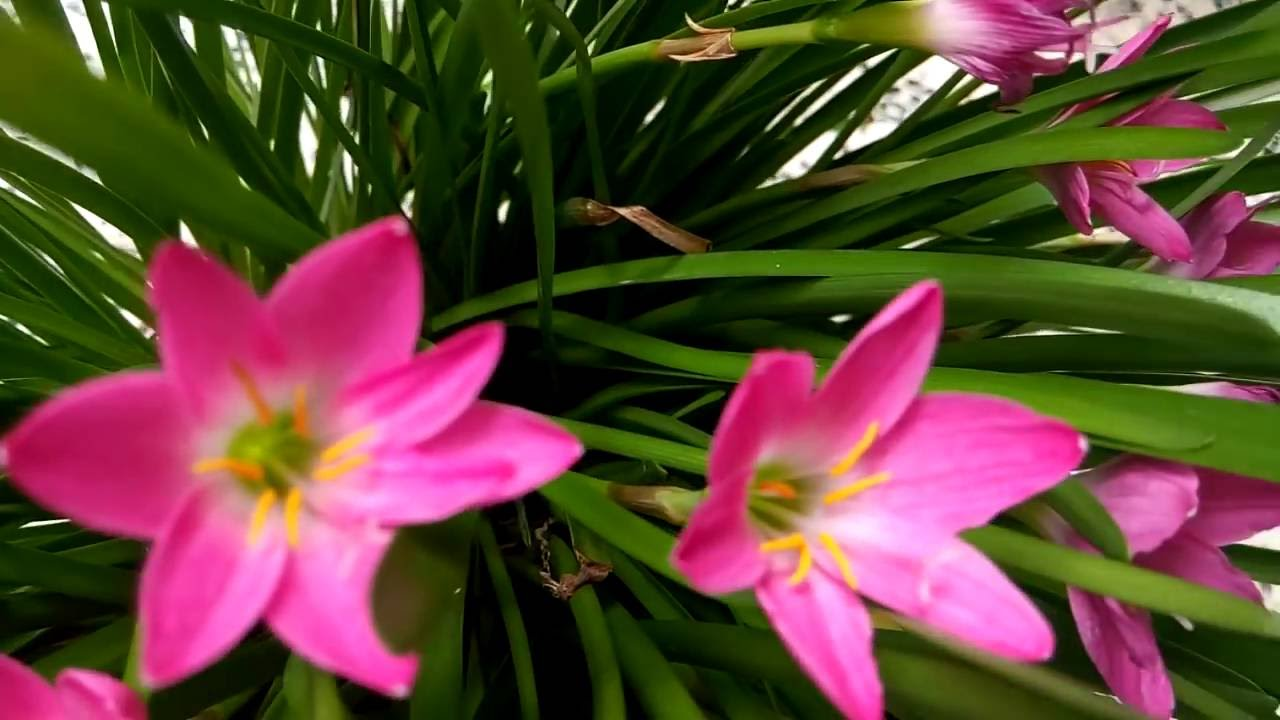 119 Blooming Rain Lily Flowers In My Garden 27816 Youtube