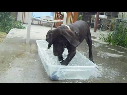 A German Shorthaired Pointer 15 week-old Puppy playing in water Part 1