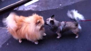 Fluffy Pomeranian And Chihuahua Fall In Love In Paris - A C
