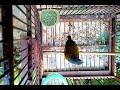 Cucak Kelabu Gacor Burung Yang Mulai Langka  Mp3 - Mp4 Download