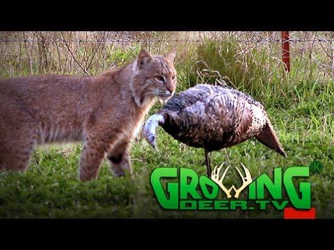 Turkey Hunting   Chasing Toms From Kentucky to Kansas (#387) @GrowingDeer.tv