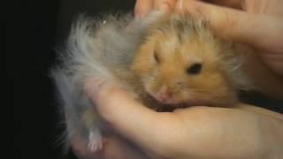 Hamster is sneezing. Хомячок чихает