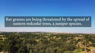 Tree Invasion Threatens Grasslands