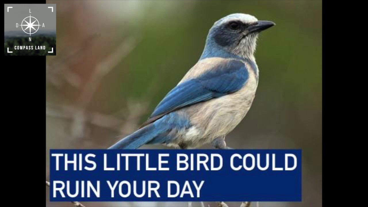 What's a Scrub Jay and How it Can Ruin Your Land Deal