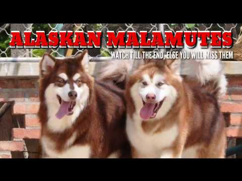 AWESOME ALASKAN MALAMUTE Puppies. Alaskan Malamute Pups. Awesome Malamutes