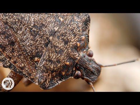 Samurai Wasps Say 'Smell Ya Later, Stink Bugs'   Deep Look