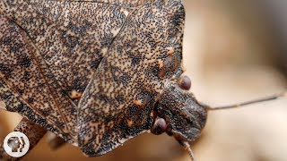 Samurai Wasps Say 'Smell Ya Later, Stink Bugs' | Deep Look