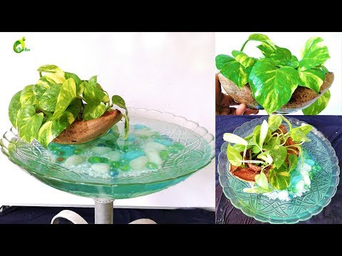 floating money plant/money plant growing style /boat style/ORGANIC GARDEN