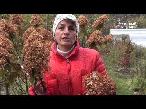 Садовые гортензии  Отличие видов и способы обрезки. Садовый мир