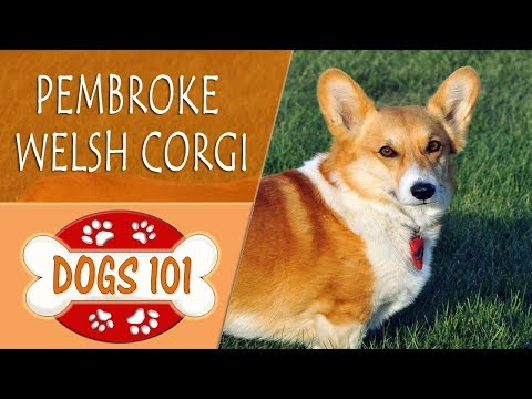 Dogs 101 - PEMBROKE WELSH CORGI - Top Dog Facts About the PEMBROKE WELSH CORGI