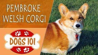 Dogs 101  PEMBROKE WELSH CORGI  Top Dog Facts About the PEMBROKE WELSH CORGI