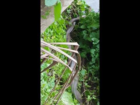 Snake romance at paschimbar,jaleswar. Balasore