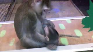 Маленькая обезьянка сосёт у мамы грудь
