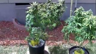 600 Watt Grow Tent #9