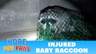 Injured and feisty baby raccoon doesn't surrender without a fight.