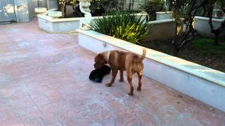 Dogue De Bordeaux Playing With Labrador