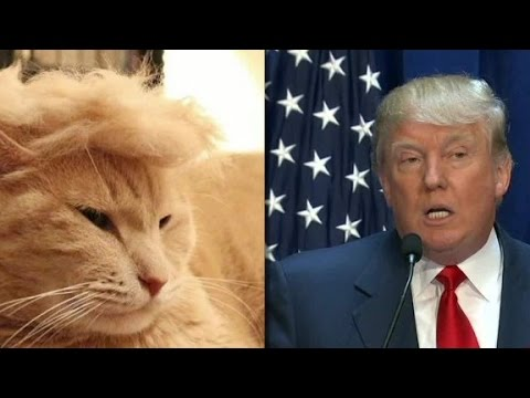 'Trump cats' feature felines with crazy hairlines