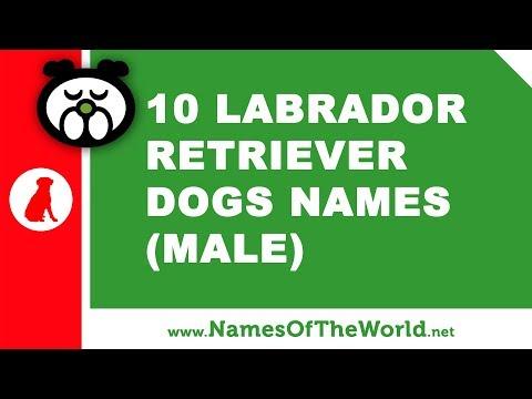 10 Labrador Retriever Male Dog Names - The Best Pet Names - Www.namesoftheworld.net