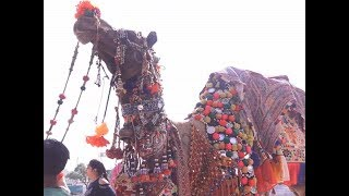 Rajasthan: Annual Pushkar camel fair begins, tourists arrive to witness  colourful events thumbnail