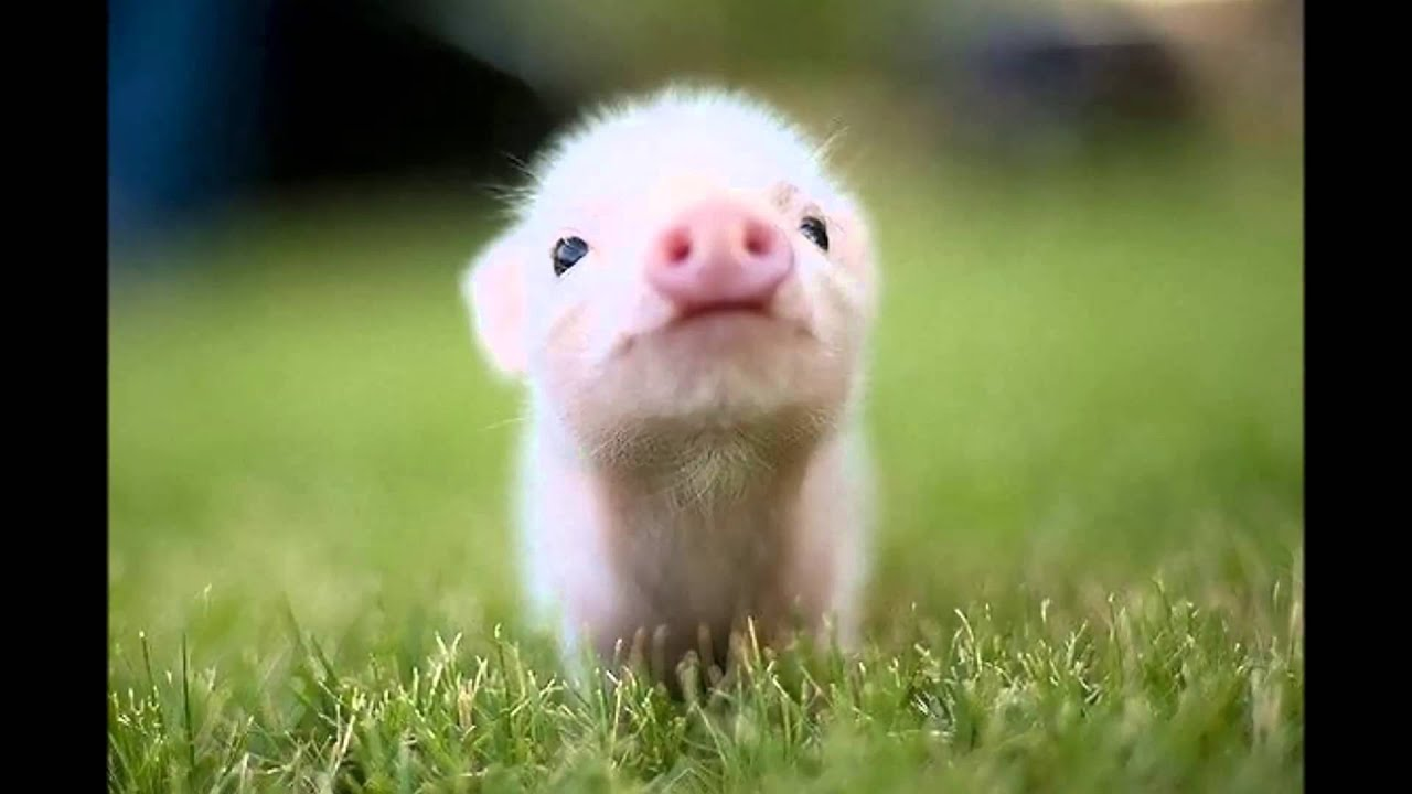 Cute Baby Pig Wallpaper 【ハッピーな気分になれる】バースデーソング アレンジ、おめでとう!happy Birthday Song