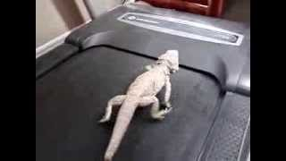 Bearded Dragon Running On A Treadmill