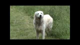 The Rocky Files - Funny Pets - Awesome Dog - Golden Retriever