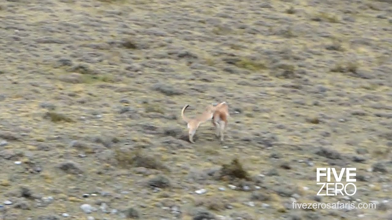Puma Catches Guanaco in Patagonia - doesn't go according to plan