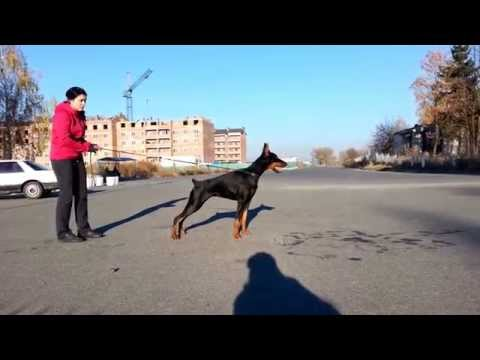 Show training Doberman puppy ORNATUS VITАE Arcadia (8 mon)