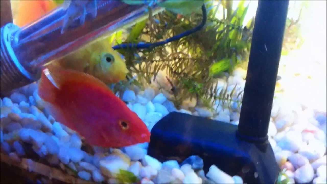 Coffee Table Aquarium Lobster Multi Coloured Parrot Cichlids