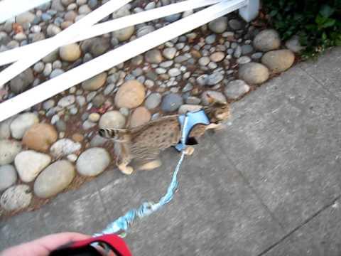 Pixie Bob cat walking on leash