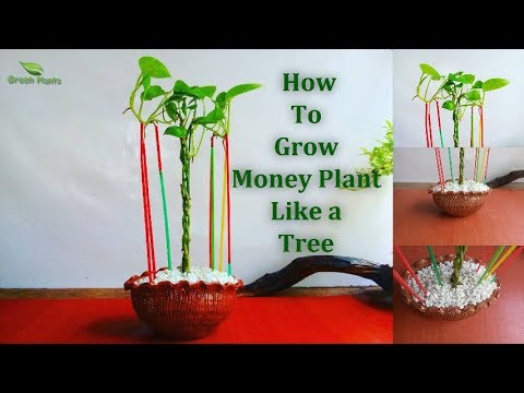 How to Grow Money Plant Like a Tree | Money plant Growing With Aerial Roots // GREEN PLANTS