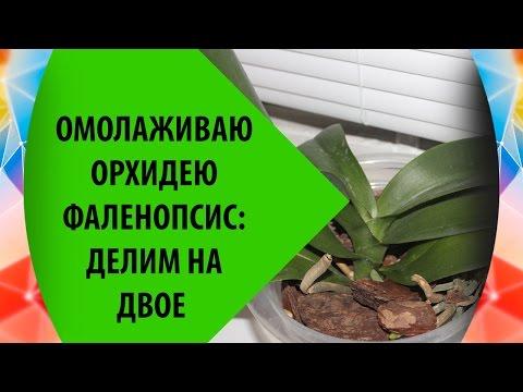 Омоложение Орхидеи Фаленопсис: Делим Орхидею на Две