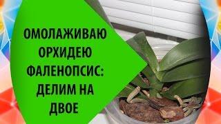 Омоложение Орхидеи Фаленопсис: Делим Орхидею на Две(Произвожу омоложение орхидеи фаленопсис, вместе с этим делим орхидею на две части. Видео как быстро нижняя..., 2016-06-12T18:23:31.000Z)