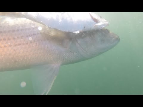RIDICULOUS FISHING New Jersey Striped Bass on Bunker + Humpback Whales! November 2015
