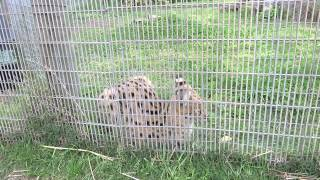 Serval meowing