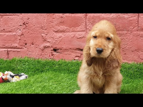 SHOW Quality Cocker Spaniel Golden Coat 2 months Puppy for Sale. Showline Cocker Spaniel Puppy Video